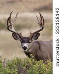 Small photo of Trophy class Mule Deer Buck with heavy, massive antlers, Odocoileus hemionus, stands alert while feeding on lush green browse Mule Deer hunting in the western U.S.