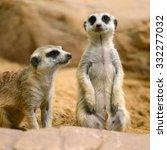 Two Alert Meerkat Standing On...
