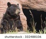 Adult American Black Bear