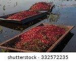 Harvested Cranberries Floating...