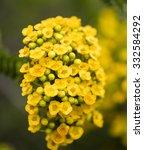 Yellow Australian Wildflowers
