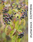 Small photo of Frangula alnus Alder Buckthorn fruit