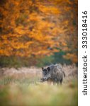 Small photo of Wild boar in autumn forest ablaze with colour
