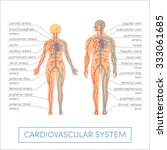 cardiovascular system of a... | Shutterstock .eps vector #333061685