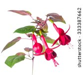 Blooming Red Fuchsia Flower Is...