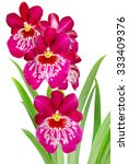 orchid flower isolated on white ... | Shutterstock . vector #333409376