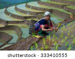 Tribal Woman Planting Seedling...