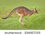 Eastern Grey Kangaroo  Macropus ...