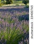 Field Of Lavender  Vineyards I...