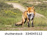 male red fox standing on the... | Shutterstock . vector #334045112