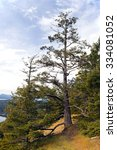 Small photo of Amabilis Fir on Pender Island, British Columbia, Canada