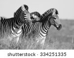 a herd   dazzle of burchells... | Shutterstock . vector #334251335