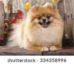 German Pomeranian Spitz Dog