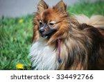 german spitz on a green lawn   Shutterstock . vector #334492766