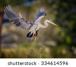 Great Blue Heron With Wings...