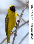Yellow Weaver Bird. Seen And...