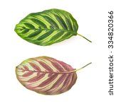 front and back of leaf of ... | Shutterstock . vector #334820366