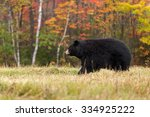 Adult Female Black Bear  Ursus...