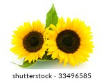 Two Sunflowers Isolated On...