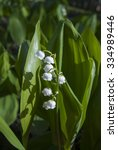 beautiful lily of the valley ...   Shutterstock . vector #334989446