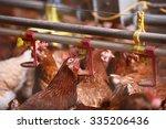 Farm Chicken In A Barn ...
