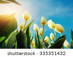 Yellow Tulips On A Background...