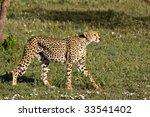 Stalking Cheetah In Serengeti...