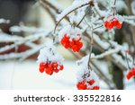 Red Berries Of Snowball Tree O...