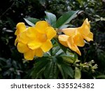Small photo of Allamanda schottii 'Grey Supreme' flowers in cluster