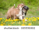 Two Australian Shepherd Puppie...