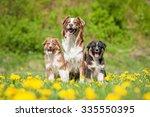Family Of Australian Shepherd...