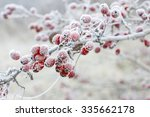 Frosted Hawthorn Berries In Th...