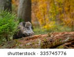 Male Wild Boar Sniffing An Old...
