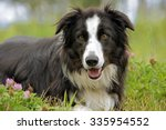 Border collie laying on grass...