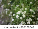 Small photo of Capsella flowers close up