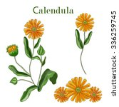 calendula flowers set isolated... | Shutterstock .eps vector #336259745