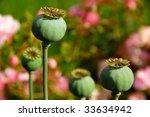 Wild poppy - stock photo