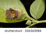 blossom atropa belladonna | Shutterstock . vector #336363086