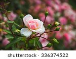 Blooming Roses And Buds On A...