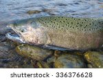 Wild chinook Salmon in Idaho