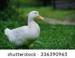 A White Duck On The Green Grass ...