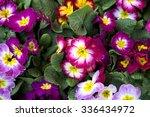 Primrose   Primula Flowers