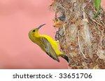 Female Sunbird Feeding Chicks