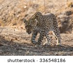 A Solitary Female Leopard...
