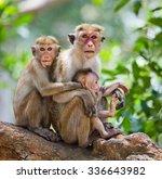 Family Of Monkeys Sitting In A...