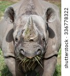 Eastern Black Rhinoceros Eatin...