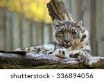 resting snow leopard  uncia... | Shutterstock . vector #336894056