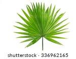 Palm  Leaf  Livistona...