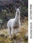 Llama In National Park Cajas ...