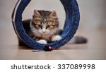 Stock photo domestic nice multi colored kitten kitten plays on a floor 337089998